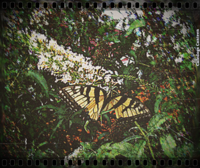 Undistilled Butterfly