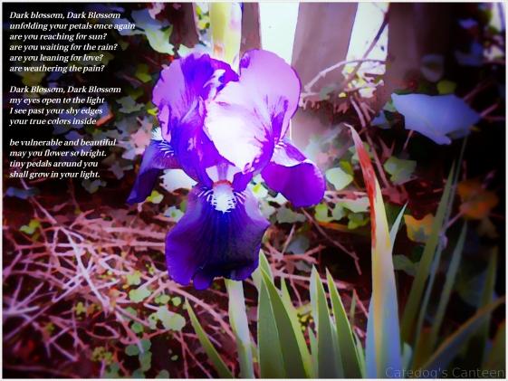 dark-blossom-iris.jpg